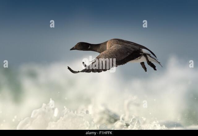 Brant goose in flight - Stock-Bilder