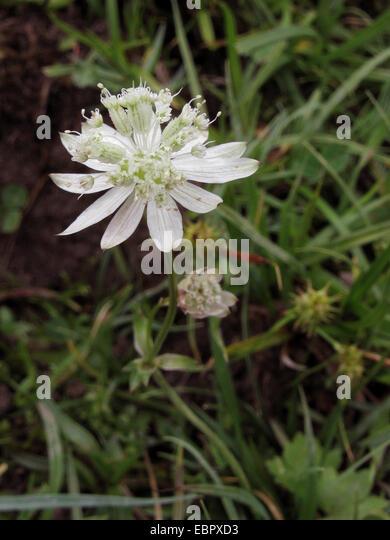 Bavarian Masterwort (Astrantia bavarica), blooming, Germany, Bavaria - Stock-Bilder