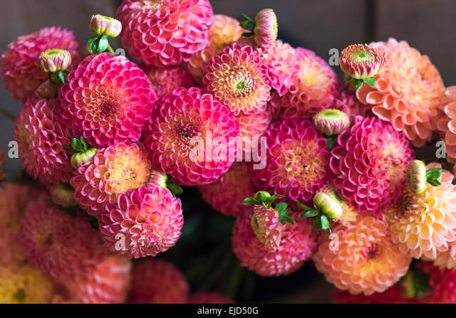 Bouquet of cut stems of mixed dahlias - Stock Image