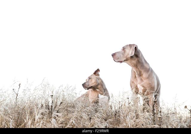 Weimaraner and Pitbull standing amid tall dry grass in field, looking left, negative space for copy - Stock Image