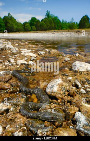 dice snake (Natrix tessellata), winding at a stony shore, Turkey, Lycia, Dalyan, Mugla - Stock Image