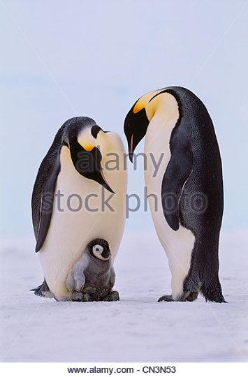 Emperor penguins and chick, Antarctica - Stock-Bilder