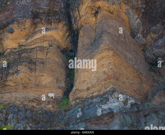Mountain Goat Perched  on Narrow Cliff in Oregon wilderness - Stock Image