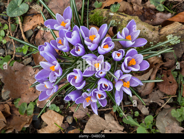 Mauve crocus on a leafy woodland floor. - Stock Image