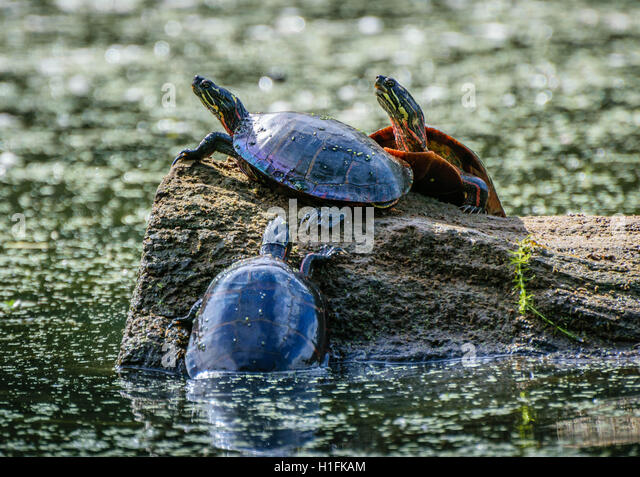 Out of the deep: turtles on a log - Stock Image