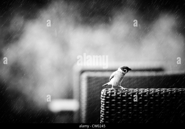 A small bird, sparrow perched on a wicker chair in the rain. - Stock Image