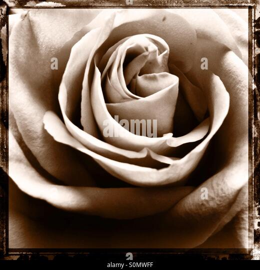 Close up sepia toned square format Polaroid transfer effect of a rose shot from above - Stock Image
