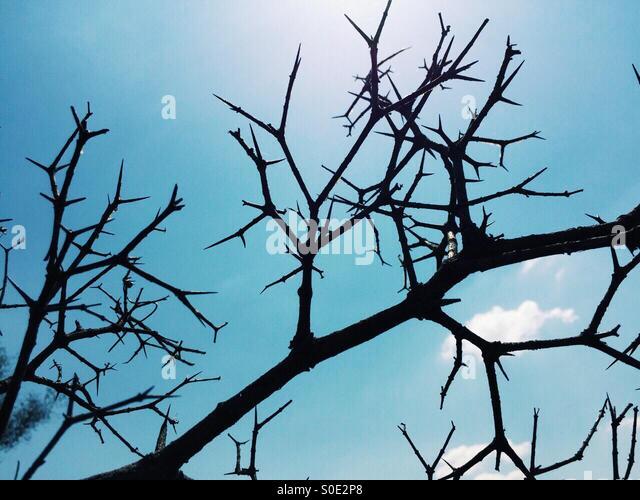Dry plant thorns - Stock Image