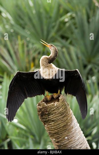 Anhinga - Green Cay Wetlands - Delray Beach, Florida USA - Stock Image