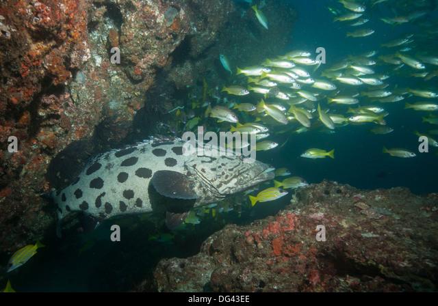 Potato cod, Mozambique, Africa - Stock Image