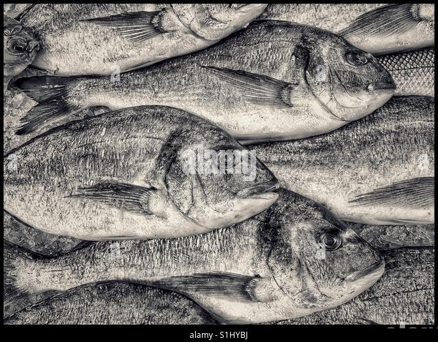 A selection of recently caught Sea Bream are for sale in a market in the United Kingdom. Fresh Fish! Photo Credit - Stock Image