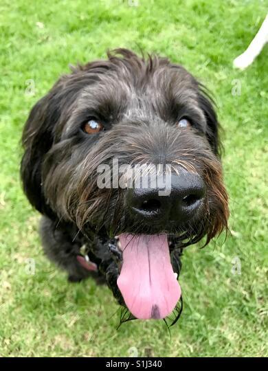A panting black labradoodle dog. - Stock Image