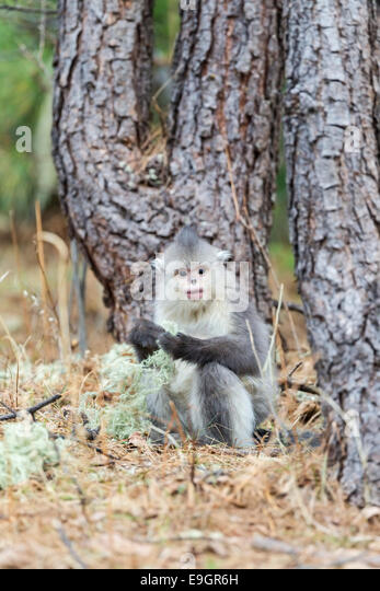 Juvenile Yunnan Snub-nosed Monkey (Rhinopithecus bieti) feeding at the base of a tree in a Himalayan forest - Stock Image