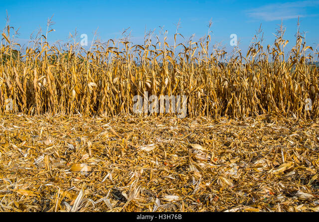 Field of Sweet Corn during harvest - France. - Stock Image