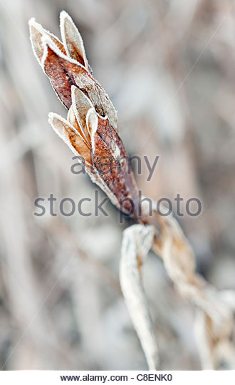 Frosted Iris sibirica (Siberian iris) seed head in winter - Stock Image