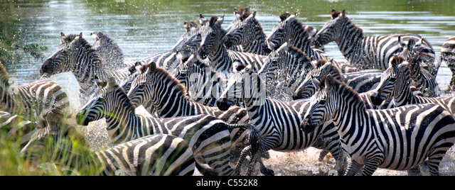 Zebras Running Through Water Herd Zebras Run...