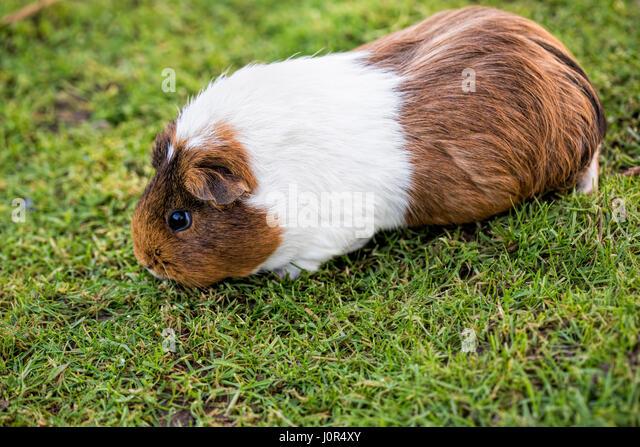 Guinea pig feeding on the grass - Stock Image