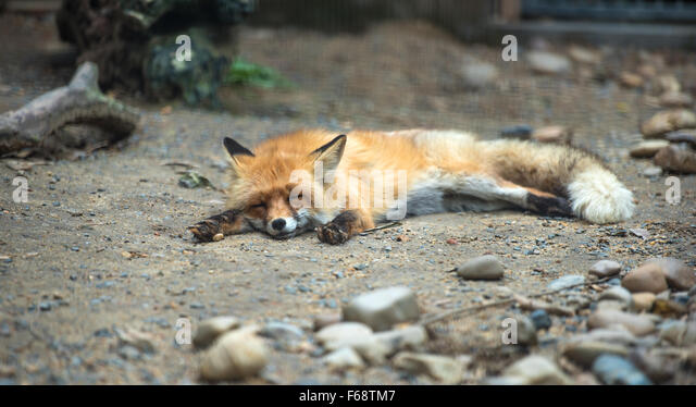 Red fox lying on the ground sleeping (looks like dead) - Stock Image