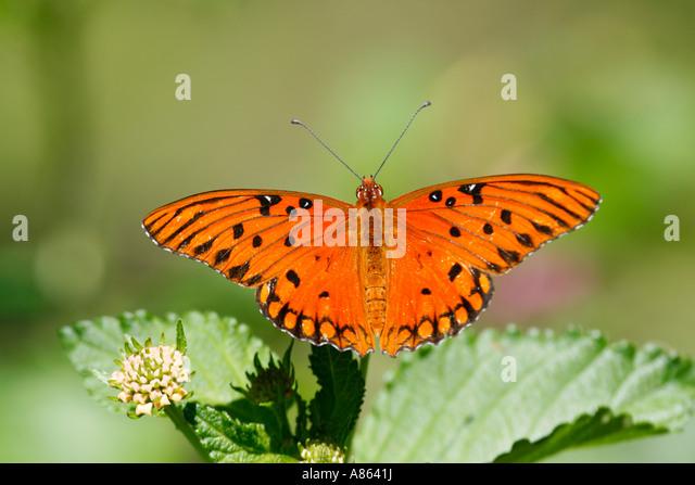 Male Gulf Fritillary Butterfly - Stock Image
