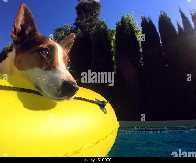Dog on a yellow pool float on a sunny hot day. - Stock-Bilder
