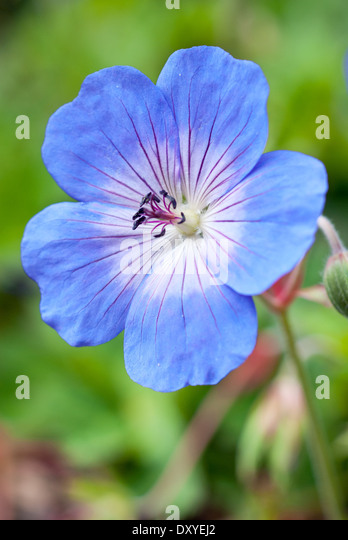 Close up of Geranium Rozanne, 'Gerwat'. Perennial, August. Single blue flower. - Stock Image