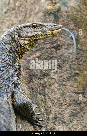 Malayan Water Monitor Lizard (Varanus salvator) climbing a mangrove tree - Stock Image