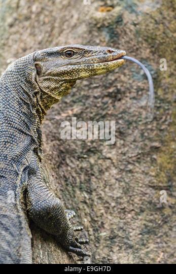 Malayan Water Monitor Lizard (Varanus salvator) climbing a mangrove tree - Stock-Bilder