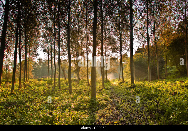 The morning light through a plantation of plane trees in the Indre-et-Loire, Loire Valley, France, Europe - Stock Image