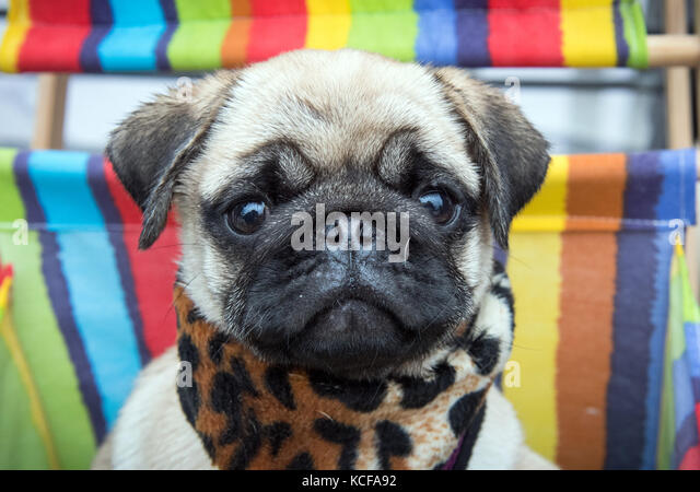 Dortmund, Germany. 05th Oct, 2017. 15-week-old pug puppy Earl Copper from the breed 'City Diamonds' sitting - Stock Image
