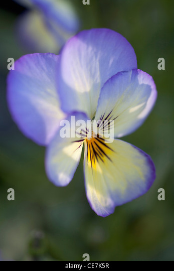 Viola, Viola 'Sorbet Ocean Breeze', Blue. - Stock Image