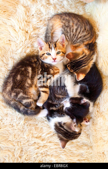 domestic cat, house cat (Felis silvestris f. catus), four tired kittens cuddling up, Germany - Stock Image