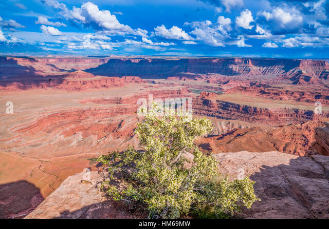 Cliffrose at Dead Horse Point State Park, Utah, Colorado River canyons near Moab, Utah purshia mexicana - Stock-Bilder