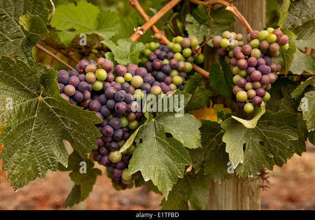 Merlot grapes in the process veraison during which grapes begin to ripen growing in size weight sugar content Okanagan - Stock Image