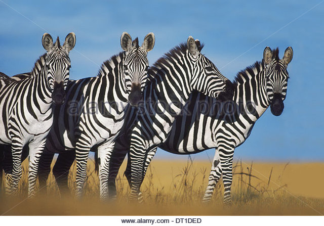 Masai Mara Reserve Kenya Zebras Equus quagga Masai MarReserve Kenya - Stock Image