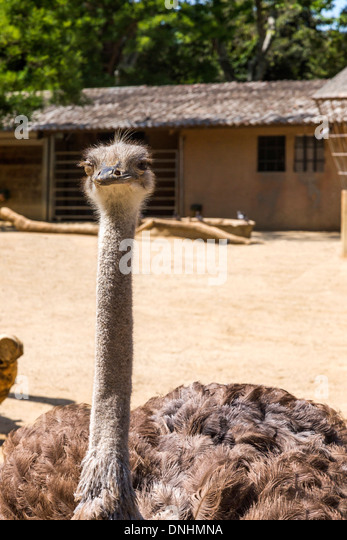Close-up of a ostrich (Struthio camelus) in a zoo, Barcelona Zoo, Barcelona, Catalonia, Spain - Stock-Bilder