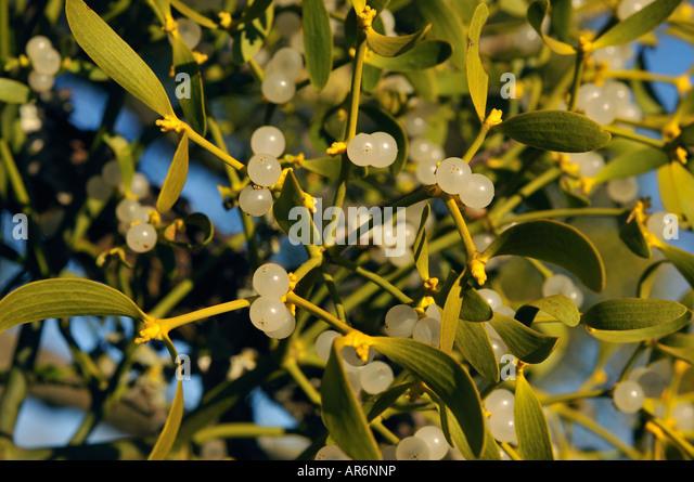 Mistletoe berries. - Stock Image