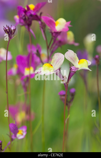 Fairy toadflax, Linaria moroccanan , Mixed colours. - Stock Image