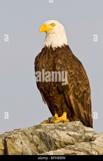 Bald Eagle (Haliaeetus leucocephalus) perched on a rock in Victoria, BC, Canada. - Stock Image
