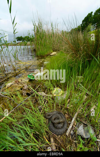 dice snake (Natrix tessellata), lyung in a coiled up shore, Turkey, Thrace - Stock Image