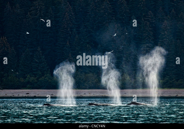 A group of Humpback Whales feeding, blowing, and diving in Icy Strait, Glacier Bay National Park & Preserve, - Stock Image