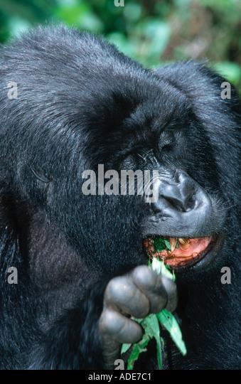 Mountain Gorilla Gorilla gorilla beringei Leaves stems and fruit are the principle food Endangered Distribution - Stock Image