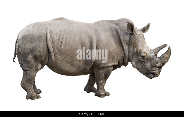 White rhino Ceratotherium simum old male isolated on white background - Stock Image