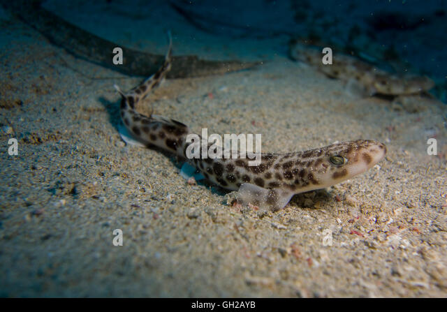 Smaller-spotted catshark, Scyliorhinus canicula, from the Mediterranean Sea. This picture was taken in Malta. - Stock Image