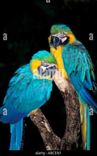 Tropical Bird parrot two pair blue and yellow gold macaws - Stock Image