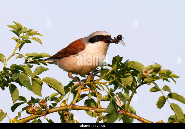 Red-backed Shrike (Lanius collurio), male with caught bumblebee, Middle Elbe Biosphere Reserve, Saxony-Anhalt, Germany - Stock Image