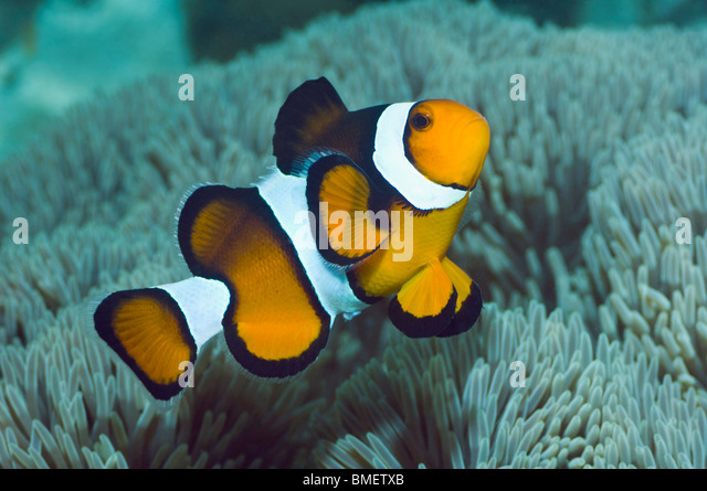 Clown anemonefish.  Misool, Raja Ampat, West Papua, Indonesia. - Stock Image