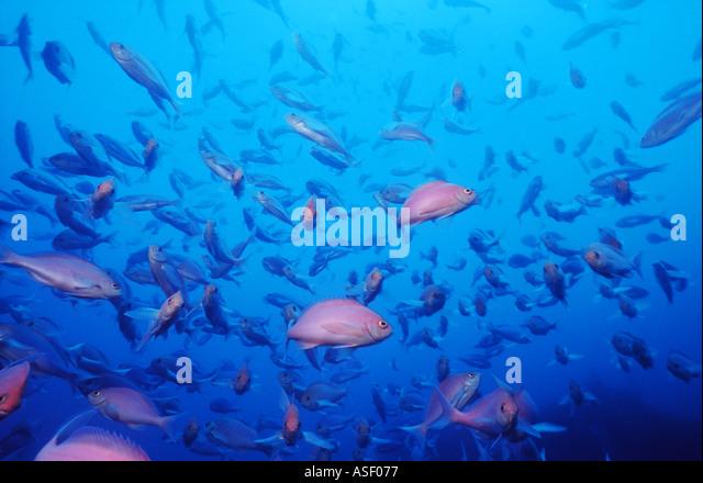 School Pink Maomao fish Caprodon longimanus Family Serranidae the grouper family Mayor Island New Zealand Depth - Stock Image