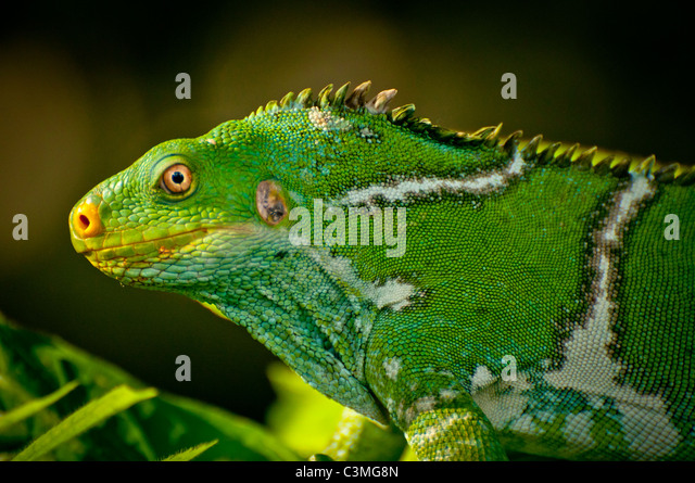 Crested Iguana, Kula Eco Park, Sigatoka Coral Coast,, Viti Levu, Fiji - Stock-Bilder