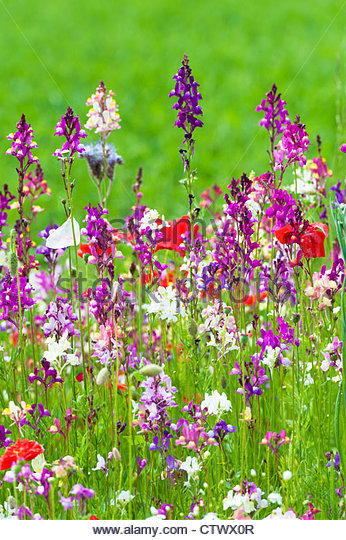 English Wildflowers in a garden - Stock Image