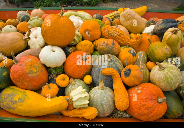 Autumn harvest display of gourds, squash, pumpkins and cucurbits at Seed Savers Heritage Farm, near Decorah, Iowa - Stock Image